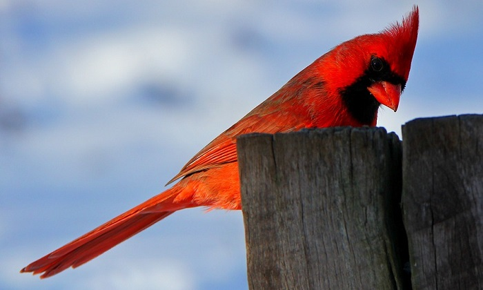 Red Bird aka Cardinal – Symbolism and Meaning