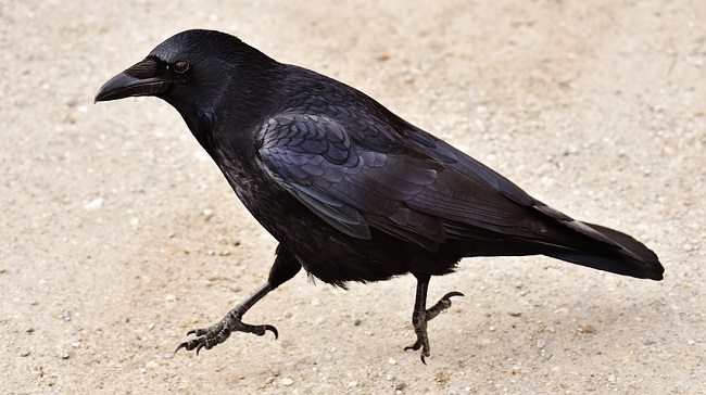 Crow Raven Spirit Animal Symbolism And Meaning