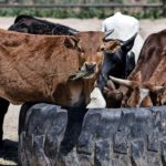 Dreams about Cows – Interpretation and Meaning