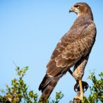 Falcon – Spirit Animal, Symbolism and Meaning