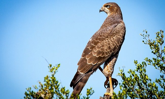 Falcon Spirit Animal Symbolism And Meaning