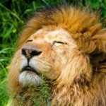 Lion – Spirit Animal, Symbolism and Meaning