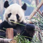 Panda – Spirit Animal, Symbolism and Meaning