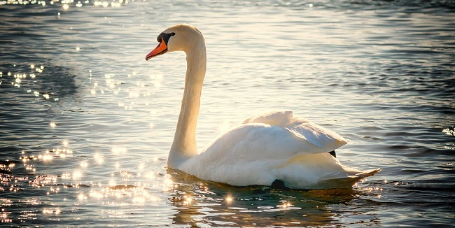 Swan – Spirit Animal, Symbolism and Meaning
