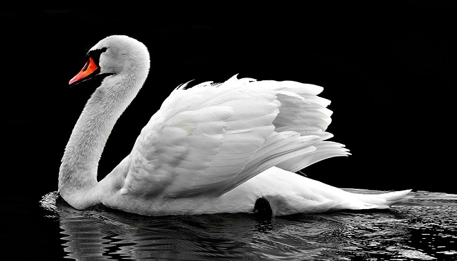 Swan Spirit Animal Symbolism And Meaning
