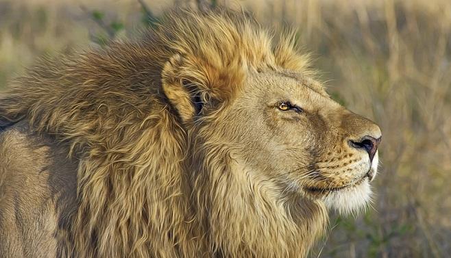 Lion Spirit Animal Symbolism And Meaning