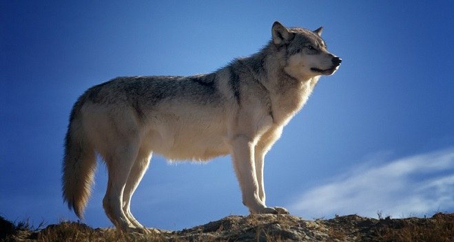 Wolf Spirit Animal Symbolism And Meaning