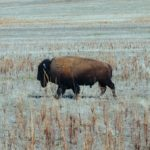 Bison, Buffalo – Spirit Animal, Symbolism and Meaning