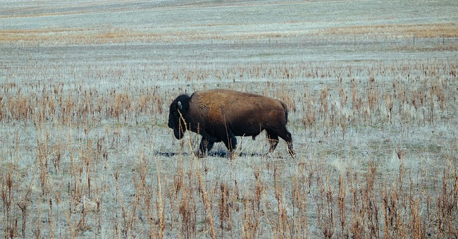 Bison Buffalo Spirit Animal Symbolism And Meaning