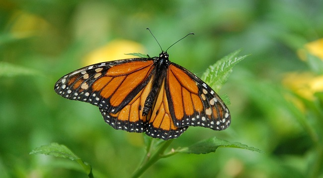 Butterfly – Spirit Animal, Symbolism and Meaning