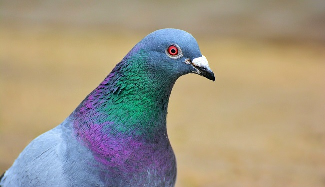 Pigeon Dove Spirit Animalsymbolism And Meaning