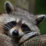 Raccoon – Spirit Animal, Symbolism and Meaning