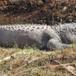 Dreams About Alligators, Crocodiles – Interpretation and Meaning