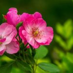 Dreams About Flowers – Interpretation and Meaning