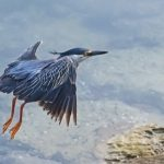 Heron, Blue Bird – Spirit Animal, Symbolism and Meaning