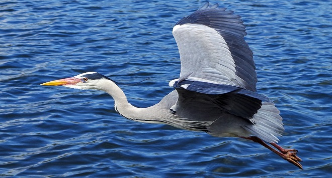 Heron Blue Bird Spirit Animal Symbolism And Meaning