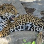 Jaguar – Spirit Animal, Symbolism and Meaning