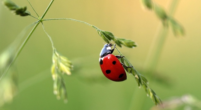 Ladybug Spirit Animal Symbolism And Meaning