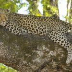 Leopard – Spirit Animal, Symbolism and Meaning