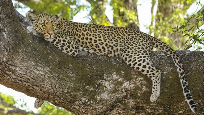 Leopard Spirit Animal Symbolism And Meaning