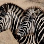 Zebra – Spirit Animal, Symbolism and Meaning