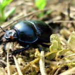 Beetle – Spirit Animal, Symbolism and Meaning