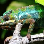 Chameleon – Spirit Animal, Symbolism and Meaning