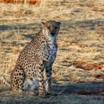 Cheetah – Spirit Animal, Symbolism and Meaning