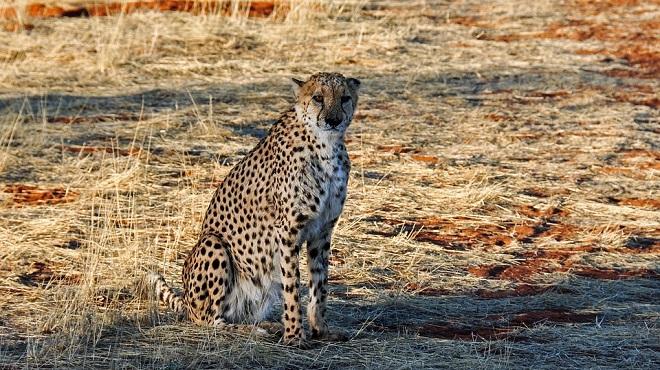 Cheetah Spirit Animal Symbolism And Meaning