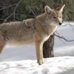 Coyote – Spirit Animal, Symbolism and Meaning