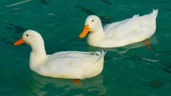 Duck Spirit Animal Symbolism And Meaning
