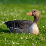 Goose – Spirit Animal, Symbolism and Meaning