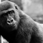Gorilla – Spirit Animal, Symbolism and Meaning