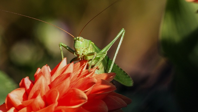 Grasshopper – Spirit Animal, Symbolism and Meaning