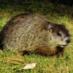 Groundhog – Spirit Animal, Symbolism and Meaning