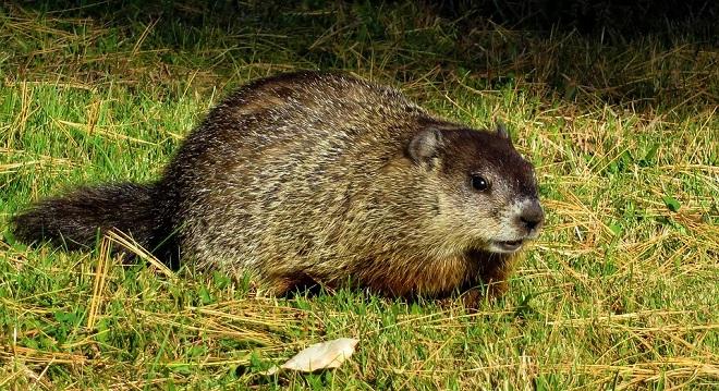 Groundhog – Spirit Animal, Symbolism and Meaning
