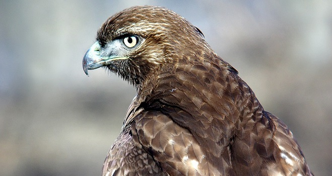 Hawk Spirit Animal Symbolism And Meaning