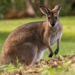 Kangaroo – Spirit Animal, Symbolism and Meaning