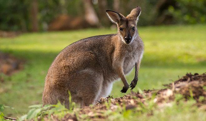 Kangaroo Spirit Animal Symbolism And Meaning
