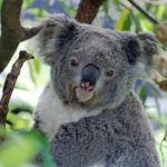 Koala – Spirit Animal, Symbolism and Meaning