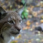 Lynx – Spirit Animal, Symbolism and Meaning
