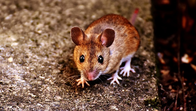 Mouse, Mice – Spirit Animal, Symbolism and Meaning