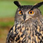 Owl – Spirit Animal, Symbolism and Meaning