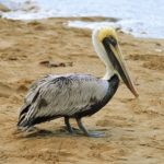 Pelican – Spirit Animal, Symbolism and Meaning