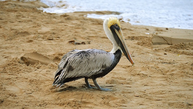 Pelican Spirit Animal Symbolism And Meaning