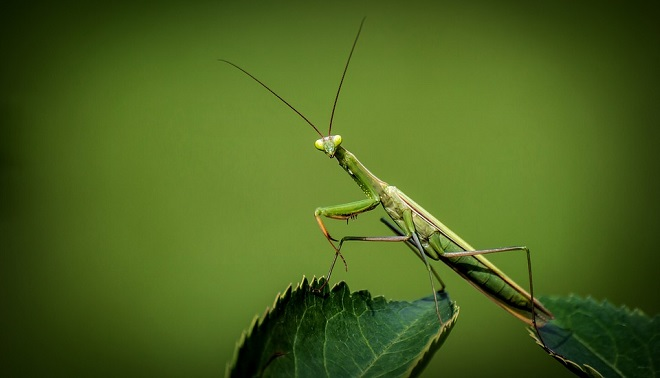 Praying Mantis – Spirit Animal, Symbolism and Meaning