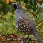 Quail – Spirit Animal, Symbolism and Meaning
