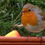 Robin – Spirit Animal, Symbolism and Meaning