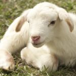 Sheep – Spirit Animal, Symbolism and Meaning