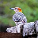 Woodpecker – Spirit Animal, Symbolism and Meaning